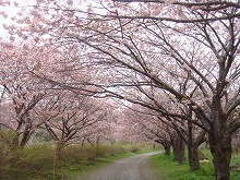 桜舞い散る風に…