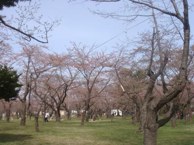 桜の花はこんな感じ