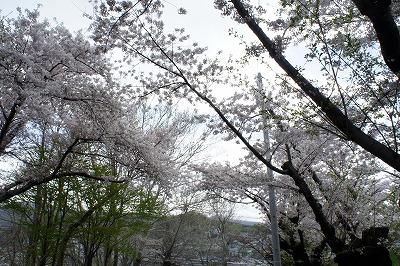 桜並木を下から眺める