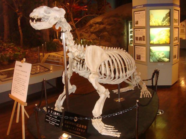 トドの骨格標本