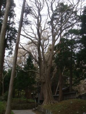 こ〜んな立派な木