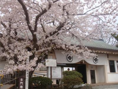 城門横の桜がキレイ