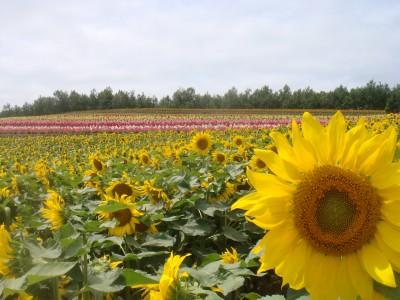 夏の花…それはひまわり